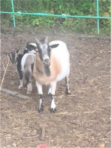 Pygmy goats for sale