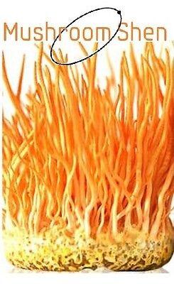 Cordyceps Mushroom - Cordyceps militaris MUSHROOM Extract 10:1 No Mycelia/Biomass/CS4 30% polysacchar