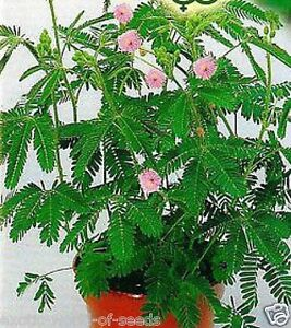 Mimosa seeds unusual indoor house sensitive plant ebay - Interesting house plants ...