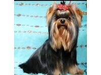 Miniature Yorkshires Terrier for sale