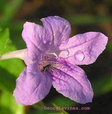 Ruellia strepens Limestone Wild Petunia 15 seeds ()
