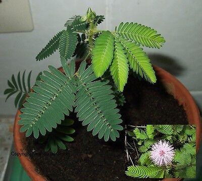 Pflanze der Meditation - Echte Mimose - zeigt Gefühle