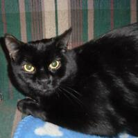 "Young Male Cat - Domestic Short Hair: ""Charles"""