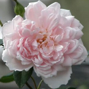 Rambling rose Albertine fragrant pink bare rooted FREE DELIVERY