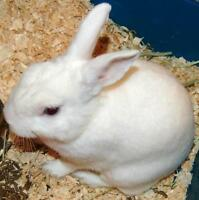"Young Male Rabbit - Bunny Rabbit: ""Nibbles"""