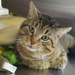 "Adult Male Cat - Domestic Short Hair-Tabby - Brown: ""Bubba"""