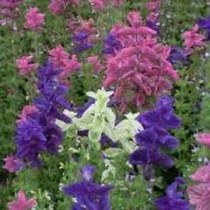 Clary-Crown-Bouquet-Mixed-500-Seeds