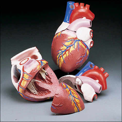 Human Heart Jumbo Size Anatomical Anatomy Model, NEW