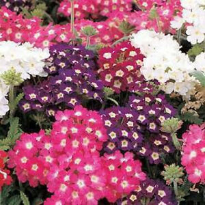 100-MIXED-COLORS-VERBENA-Hortensis-Flower-Seeds-Gift-Comb-S-H