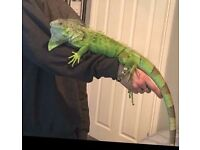 Female iguana for sale