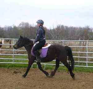 Haflinger cross gelding available for part board  London Ontario image 4
