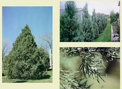 Rocky Mountain Juniper.      100 seeds.     trees, -