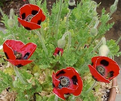 Papaver Lady Bird Poppy Approx 2000 seeds *FREE UK P&P*