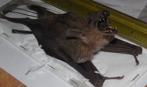 EONYCTERIS SPELAEA CAVE NECTAR HANGING BACK BAT REAL BAT INDONESIA TAXIDERMY