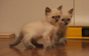 Chatons himalayens pure race West Island Greater Montréal image 8