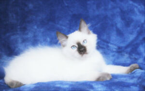 Ragdoll Male Kittens are Available for Re-homing