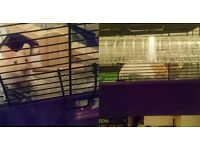 Young hamster with cage