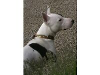 English Bull Terrier/Staff Cross