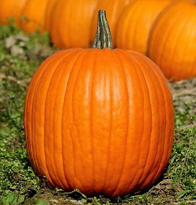 - Pumpkin Seeds, Jack O Lantern, Heirloom Pumpkin Seeds, Non-Gmo Seeds, 30ct