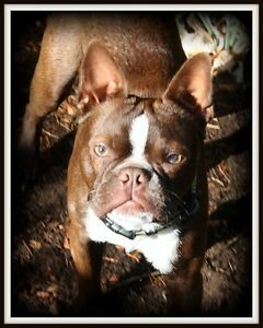 Reg chocolate boston Terrier boy From pet therapy lines