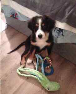 Beautiful Labernese female puppy for rehoming