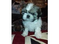 Shih Tzu Imperial Boy Puppy