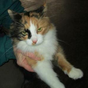 "Adult Female Cat - Calico: ""Ginger"""