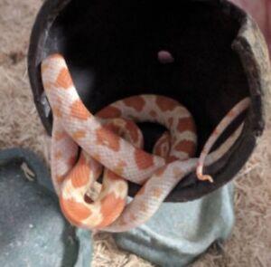 Young Albino Corn Snake