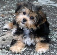 LOOKING FOR A YORKIE MIX PUPPY