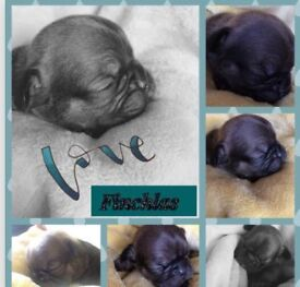 French Bulldog puppies lilac producers