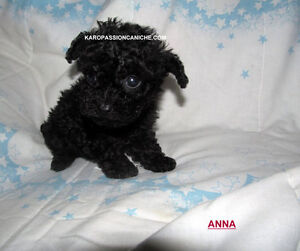 caniche Toy,Miniature,Tiny toy,Teacup ainsi que Royale