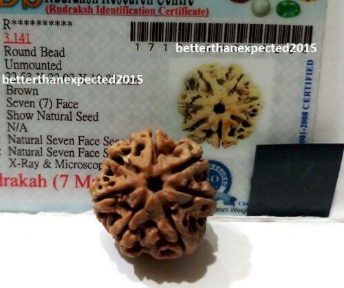 7 Mukhi Rudraksha / Seven Face Rudraksh Nepal Bead Lab Certified- 20- 22 MM