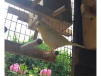 Canaries for sale - youngsters and adults available