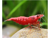 Tropical freshwater Red Cherry Shrimp