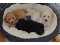 Healthy kc registered toy poodles