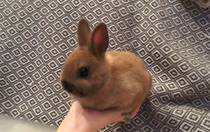 Absolutely Stunning Netherland Dwarf Bunnies- All now reserved