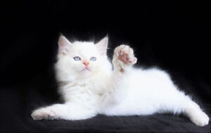 WHITE RAGDOLL GIRL IS AVAILABLE FOR HER NEW HOME