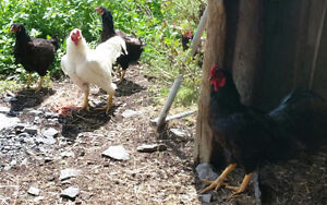 Good quality purebred chickens/guineas! Make an offer!!