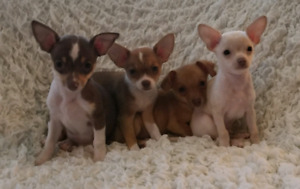 ♡♧◇Cute Little Chihuahua Pups♡♧◇READY TODAY♡♧◇