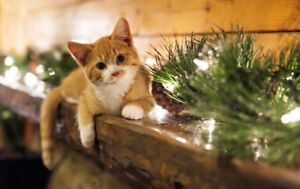 Looking for female kitten for this Christmas!  Please message!