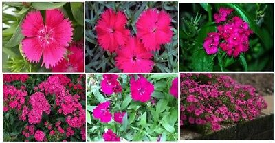 Planting Sweet William (HOT PINK DIANTHUS * Sweet William * Annual Flowered Plant  25 + Seeds)