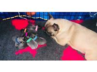 Stunning KC registered french bulldog puppies
