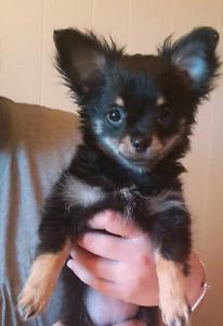 Chihuahua Femelle Enregistré CCC/CKC Poils long Tricolore 4 mois