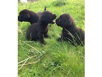 Stunning pure bred labrador puppies