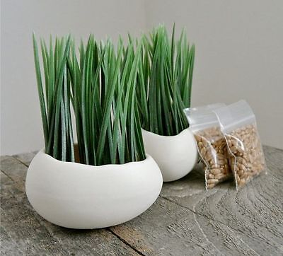 ~1000+ FRESH 2016 Wheatgrass Wheat Grass Seeds for Sprouting or Pet Grass