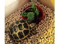 Horsfield tortoise with home
