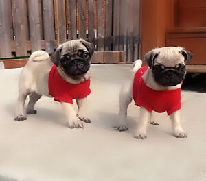 Female pug puppy... ONLY ONE LEFT