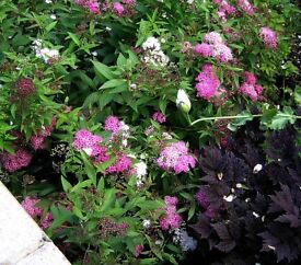SPIRAEA Japonica Shirobana grown MATURE flowering shrub plant pick up Horsell