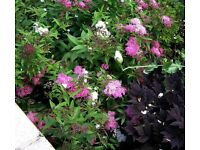 SPIRAEA Japonica Shirobana grown MATURE flowering shrub plant pick up Horsell