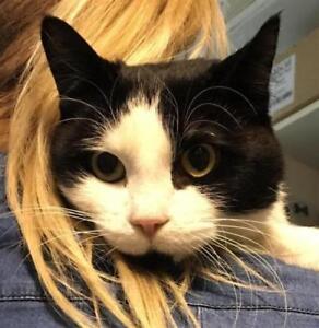"Adult Male Cat - Domestic Short Hair: ""Nitro"""